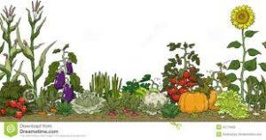 Vegetable Garden Preparation